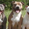 Low-cost spay/neuter surgeries for pits