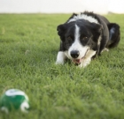 Pet of the Month: Mature Border Collie still has lots of energy