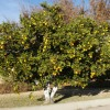 Food banks restrict backyard citrus
