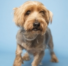 Rescued Yorkie ready for love