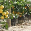 Citrus trees ready to be planted
