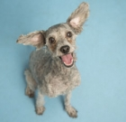 Loveable poodle mix needs home