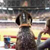 Bring your dog to a D-backs game