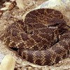 Do's and don'ts of rattlesnake encounters