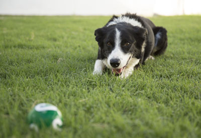 This 12-year-old Border Collie still loves to play fetch and go for long walks. He would love to find an active and playful forever home (submitted photo).