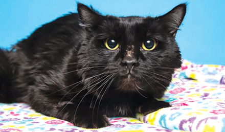 """Pickle is a four-year-old domestic shorthair kitty who needs a """"fur-ever"""" home that is quiet with patient, loving owners (photo by Arizona Humane Society)."""