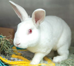 Fuzzy Peach is a sweet, one-year-old short-hair bunny who was rescued earlier this year. He needs a forever home with a family that is calm and settled (photo courtesy of the Arizona Humane Society).