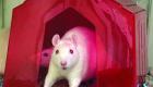 Sweet white rat is sociable, loves snuggling