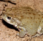 Keep pets away from toxic toads