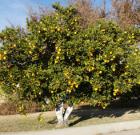 Food banks restrict backyard citrus