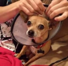 Get your Chihuahua fixed for just $20