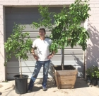 Citrus trees available at pop-up nurseries