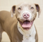 Young pit-bull terrier needs active home