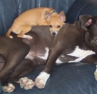 Pitties and Chihuahuas fixed for just $20
