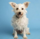 Cairn Terrier mix is easy to like