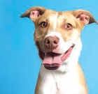 Hummingbird is sweet pit bull terrier, pointer mix