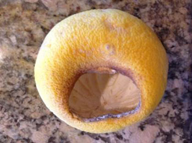 After finding gnawed and even hollowed-out grapefruits in his yard, North Central resident Erick Johnson knew he had a roof-rat problem (photo courtesy of Erick Johnson).