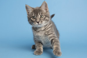 This gray tabby kitten named Fuzz Light-Year is ready to play to infinity and beyond. The Arizona Humane Society saw an unexpected influx of kittens last month and they are all looking for their forever homes (submitted photo).