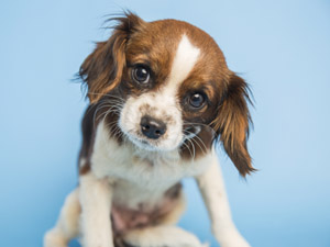 """Abigail is a sweet 2-year-old Cavalier King Charles Spaniel that was rescued from a hoarder-like home, while suffering a broken hip. She is ready to be pampered and lavished with love and attention, as befitting her """"kingly"""" breed (submitted photo)."""